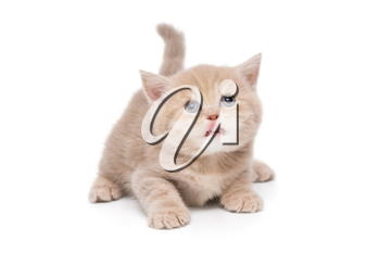 British kitten beige color is looking up and showing tongue, isolated on white