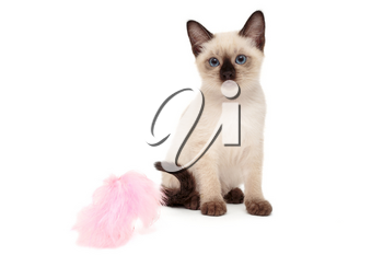 Small Siamese kitten and toy, isolated on white background
