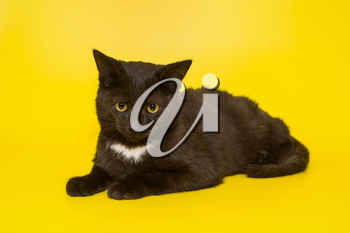 Serious black kitten on a yellow background