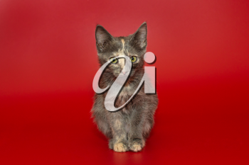 Three-color kitten of a fancy color on a red background