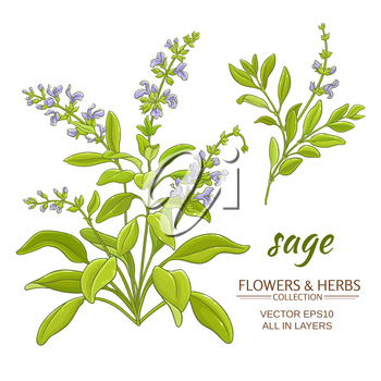 sage plant vector illustration on white background