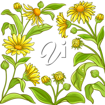 arnica plant vector frame on white background