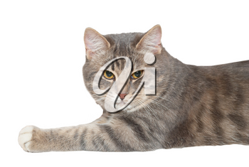Young gray cat isolated on white background