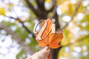 Autumn maple leaf in fingers. Autumn background with blurred trees.