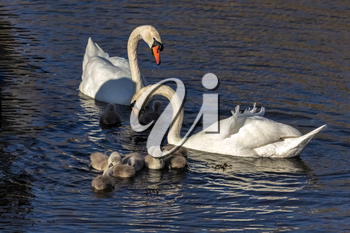 Mute Swans (Cygnus olor) with Cygnets