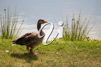 Greylag Goose (Anser anser) by a Lake near Turners Hill