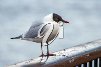 Black-headed Gull on a Railing by the River Thames