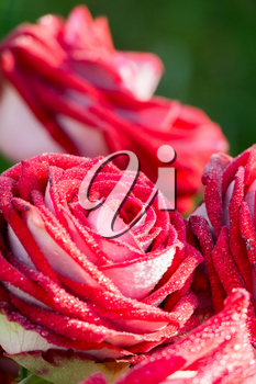 Decorative bright red rose close up, anniversary background.