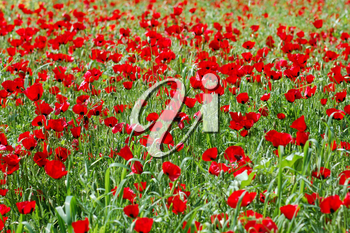 Field of blooming poppy flowers in springtime. Nature background.