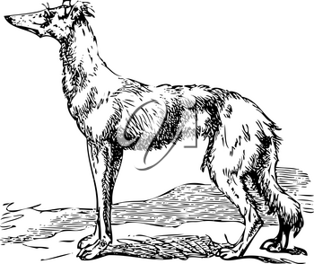 Old engraving of a Saluki or Borzoi dog, which are the oldest breed of hunting dogs. Scan from the Dictionnaire encyclop�dique Trousset, also known as the Trousset encyclopedia, Paris 1886 - 1891