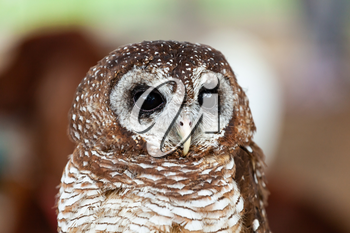 Portrait of a tawny owl, strix aluco, on natural background.