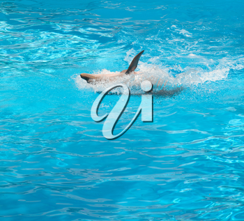 Dolphin jumping in the pool in supine position
