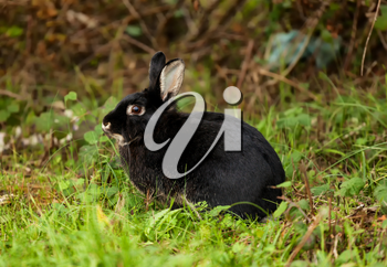 Nice black rabbit photographed in the forest.