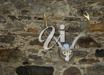Red deer skull on a stone wall